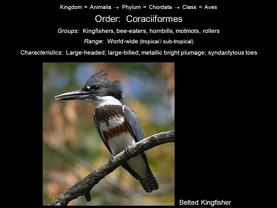 Order: Coraciiformes Common Nighthawk Belted Kingfisher