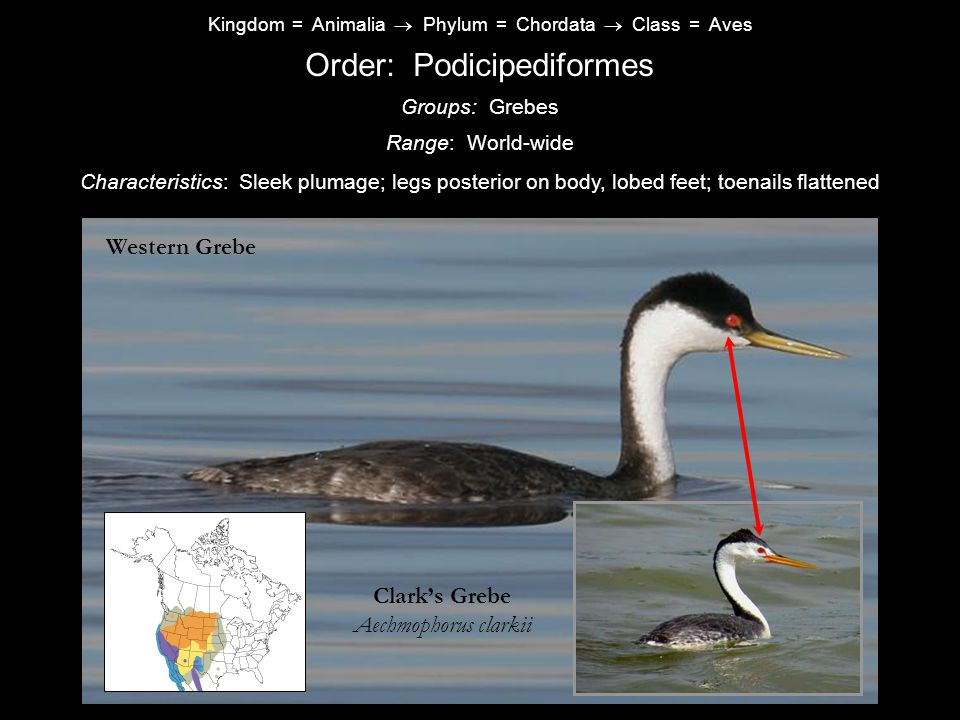 Order: Podicipediformes