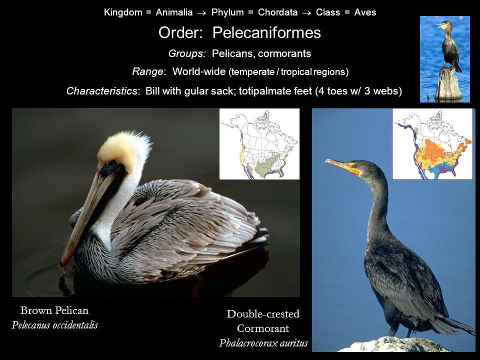 Order: Pelecaniformes