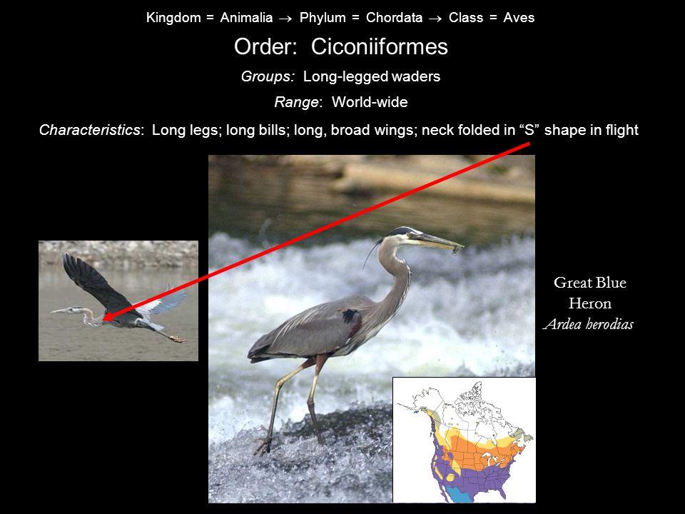 Order: Ciconiiformes Great Blue Heron Ardea herodias