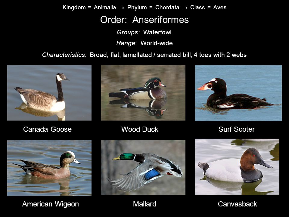 Order: Anseriformes Canada Goose Wood Duck Surf Scoter American Wigeon