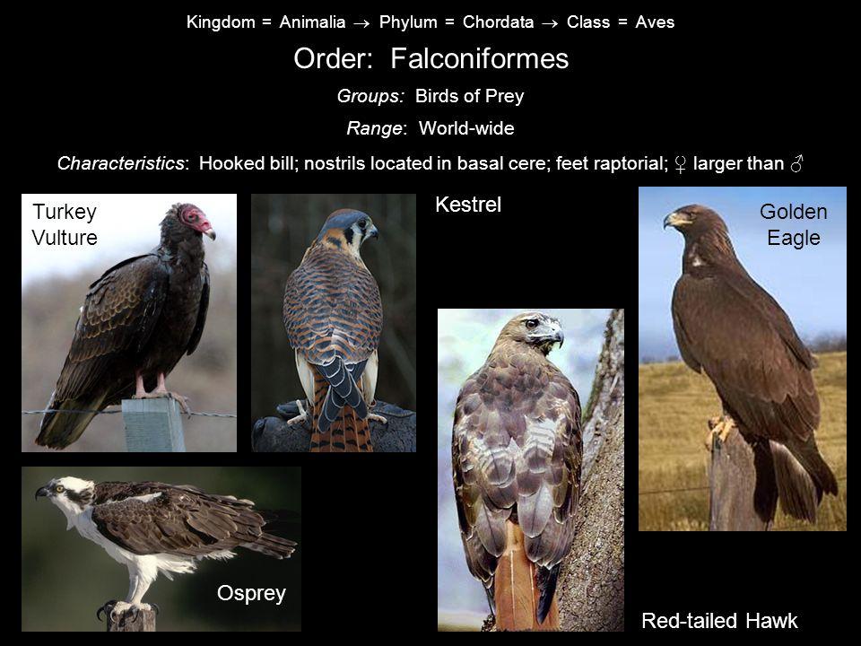 Order: Falconiformes Kestrel Turkey Vulture Golden Eagle Canada Goose