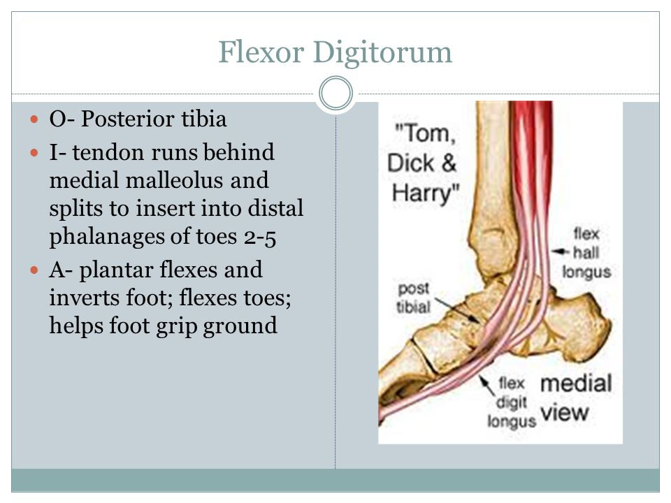 Flexor Digitorum O- Posterior tibia