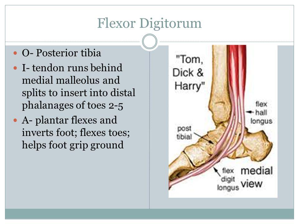 Flexor Digitorum O- Posterior tibia