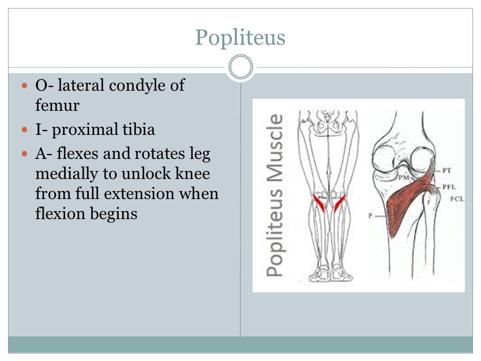 Popliteus O- lateral condyle of femur I- proximal tibia