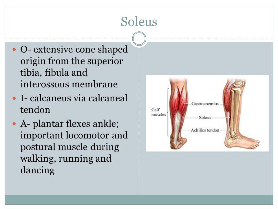 Soleus O- extensive cone shaped origin from the superior tibia, fibula and interossous membrane. I- calcaneus via calcaneal tendon.
