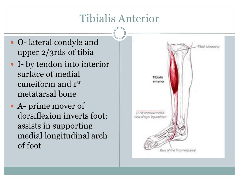 Tibialis Anterior O- lateral condyle and upper 2/3rds of tibia