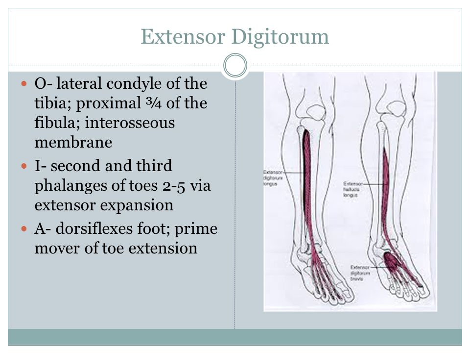 Extensor Digitorum O- lateral condyle of the tibia; proximal ¾ of the fibula; interosseous membrane.