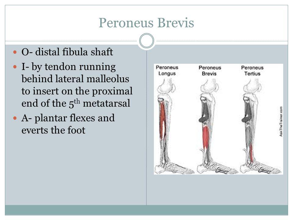 Peroneus Brevis O- distal fibula shaft