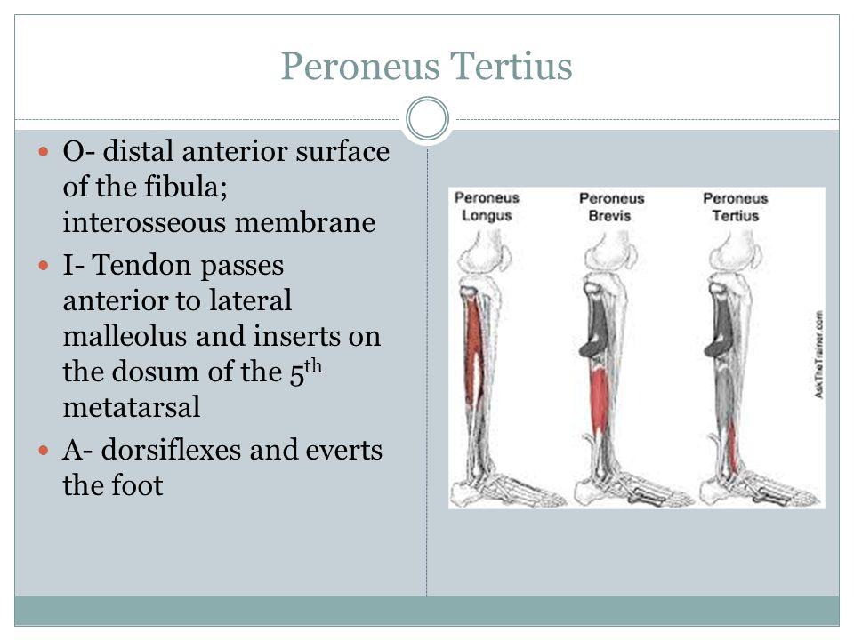Peroneus Tertius O- distal anterior surface of the fibula; interosseous membrane.