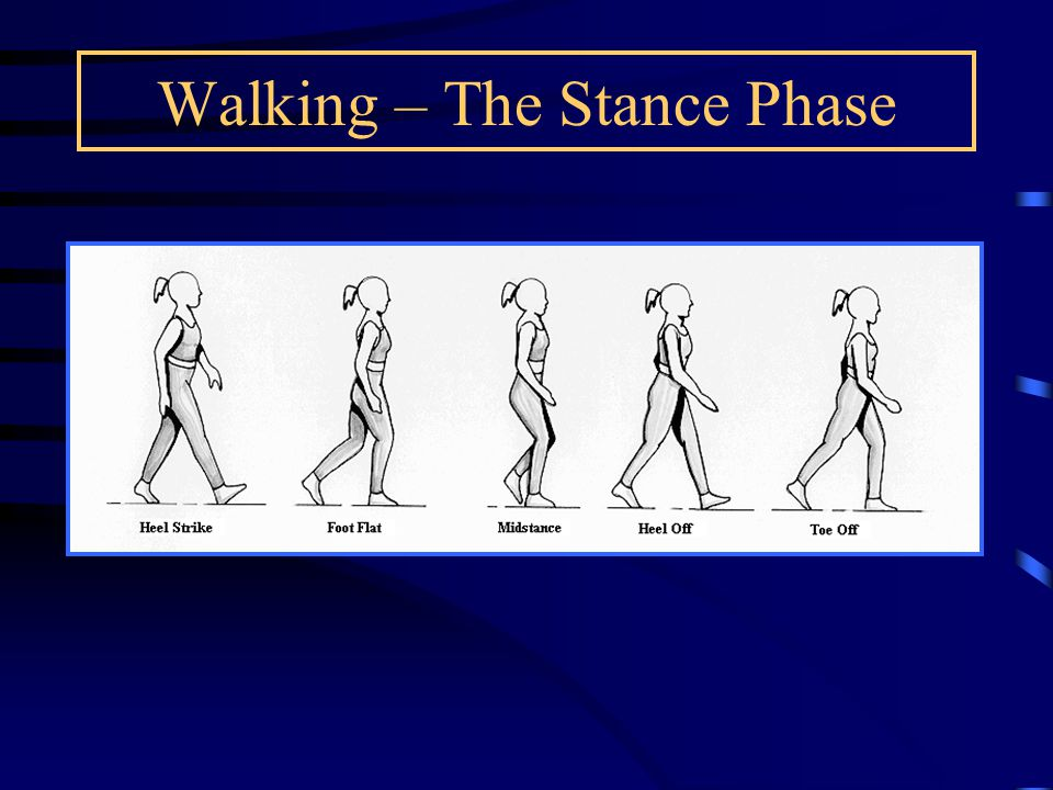 Walking – The Stance Phase