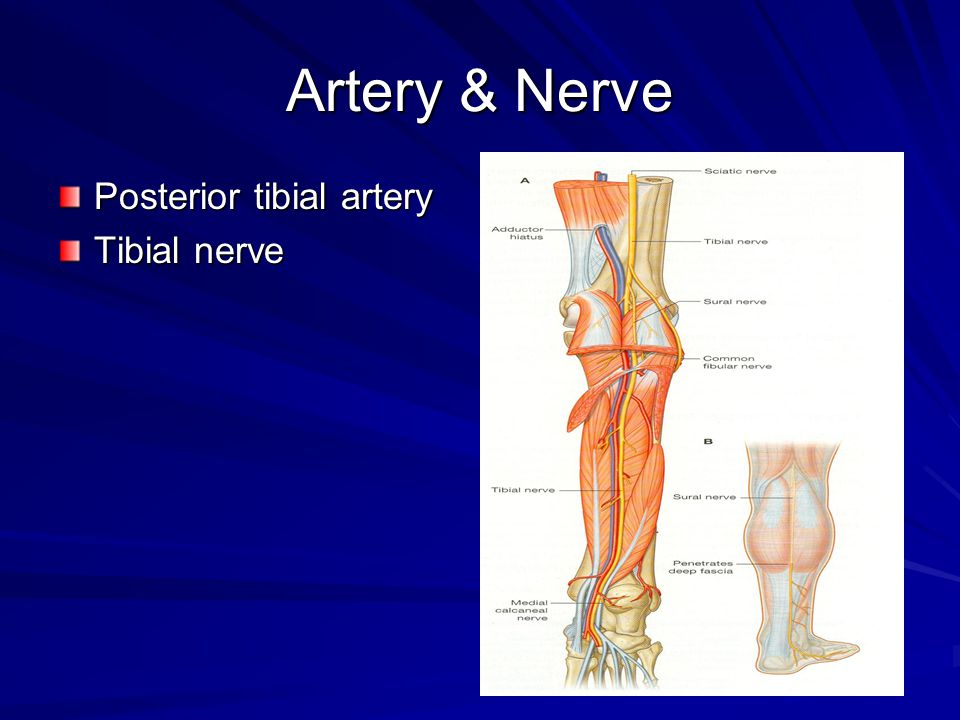 Artery & Nerve Posterior tibial artery Tibial nerve