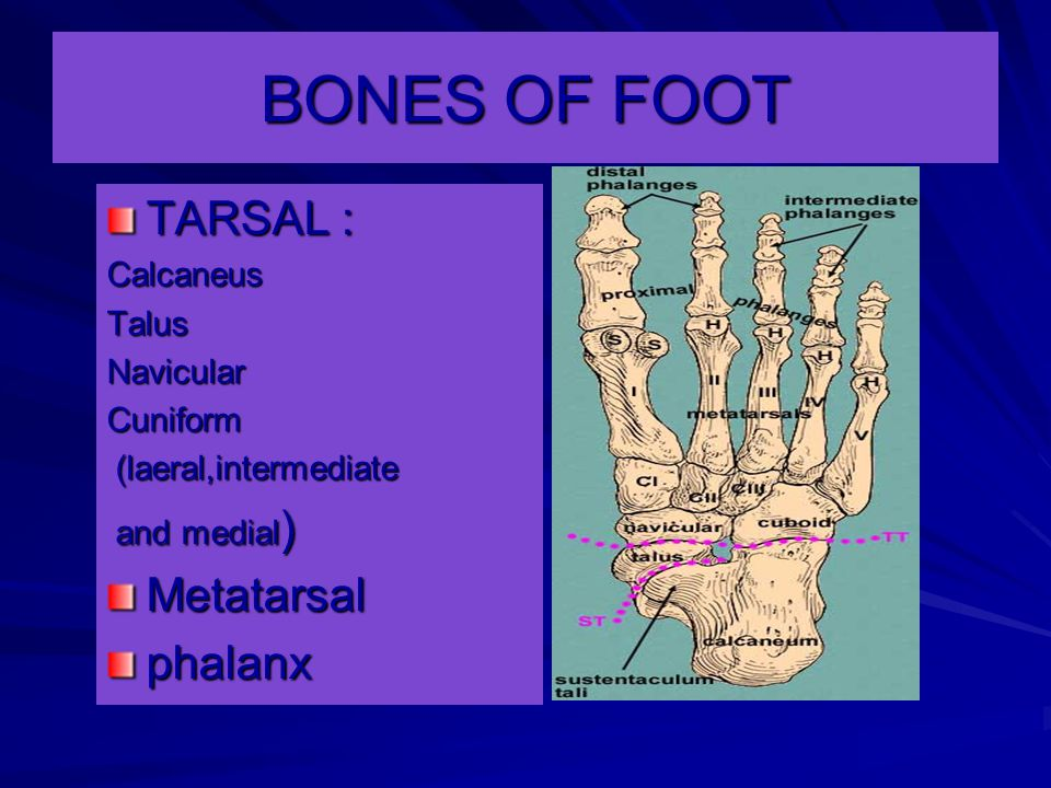 ANATOMY LECTURE SOLE OF FOOT ppt video online download