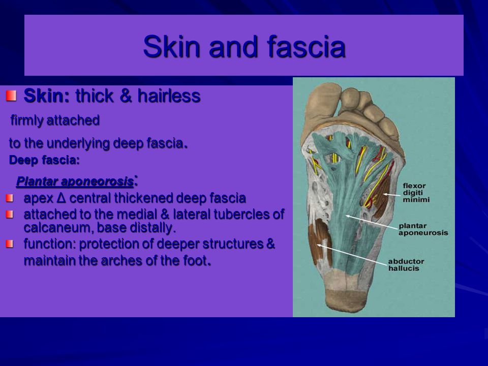 Skin and fascia Skin: thick & hairless firmly attached