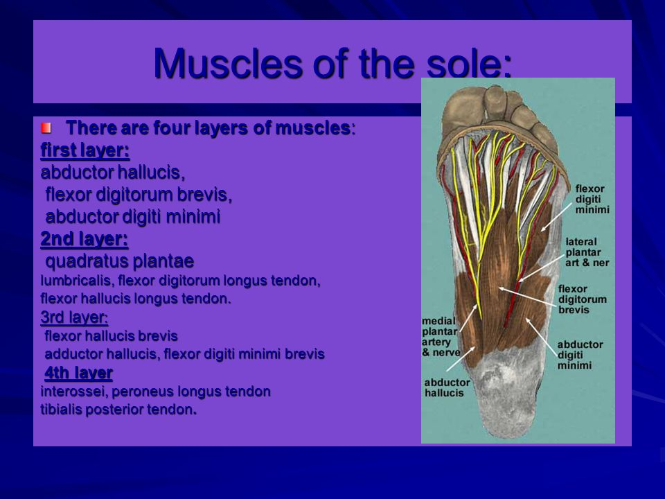 Muscles of the sole: There are four layers of muscles: first layer: