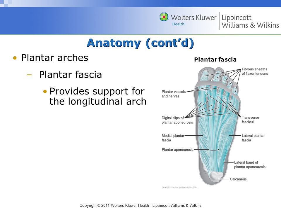 Anatomy (cont'd) Plantar arches Plantar fascia