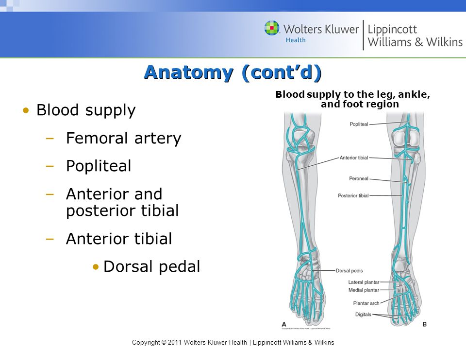 Blood supply to the leg, ankle, and foot region