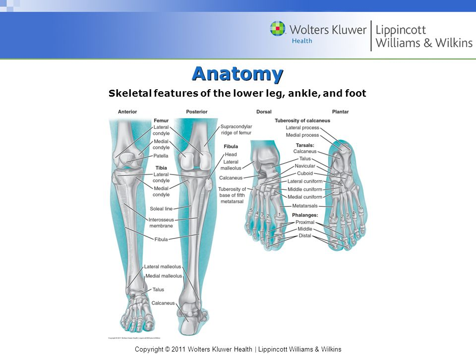 Skeletal features of the lower leg, ankle, and foot