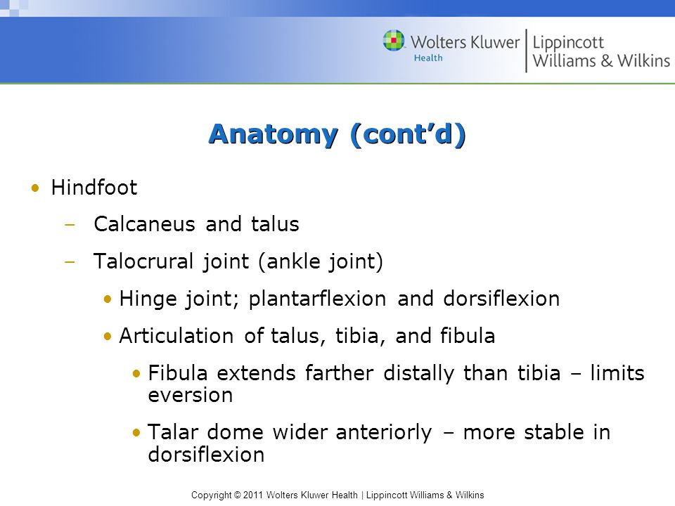Anatomy (cont'd) Hindfoot Calcaneus and talus