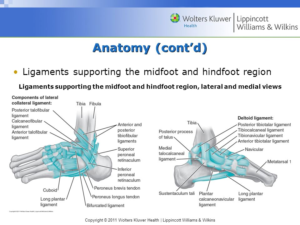 Anatomy (cont'd) Ligaments supporting the midfoot and hindfoot region