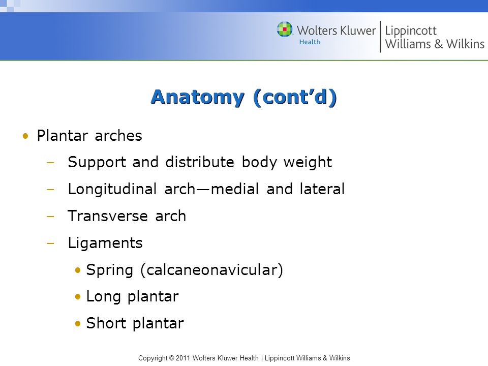 Anatomy (cont'd) Plantar arches Support and distribute body weight