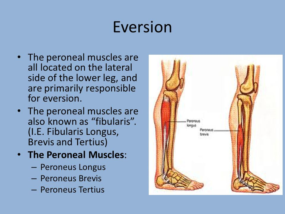 Eversion The peroneal muscles are all located on the lateral side of the lower leg, and are primarily responsible for eversion.