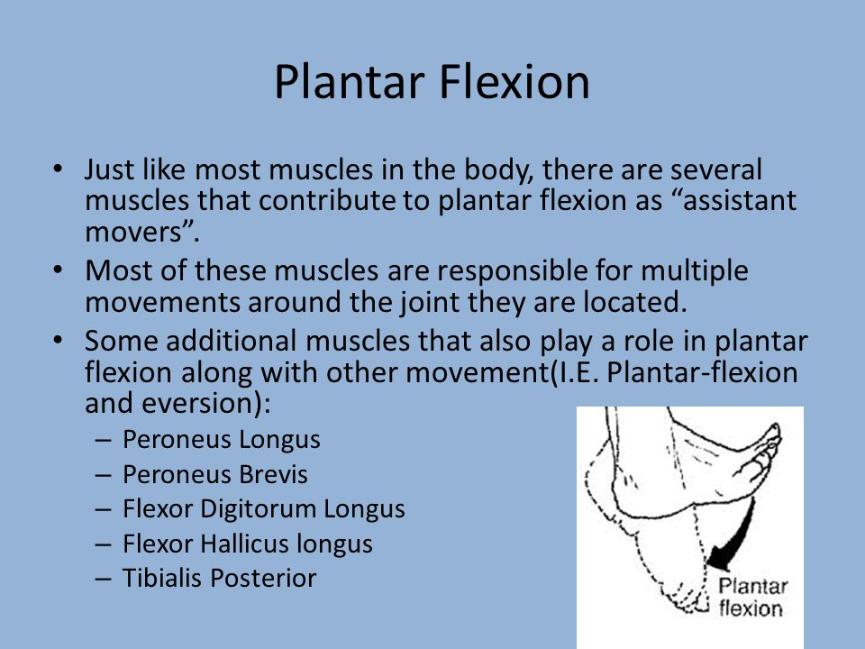 Plantar Flexion Just like most muscles in the body, there are several muscles that contribute to plantar flexion as assistant movers .