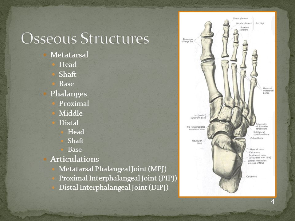 Osseous Structures Articulations Metatarsal Phalanges Head Shaft Base