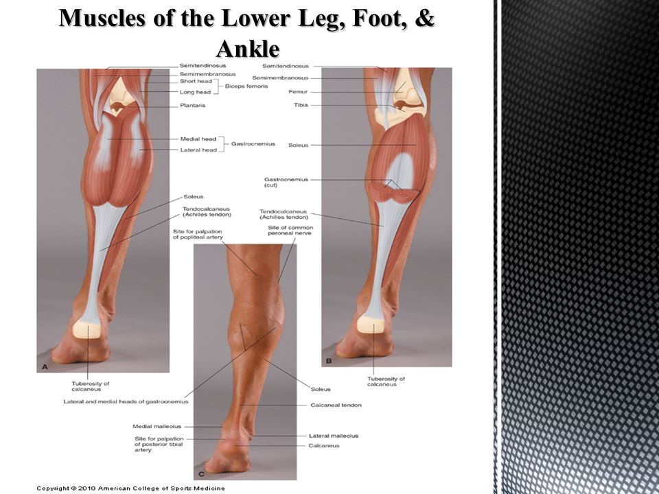 Muscles of the Lower Leg, Foot, & Ankle