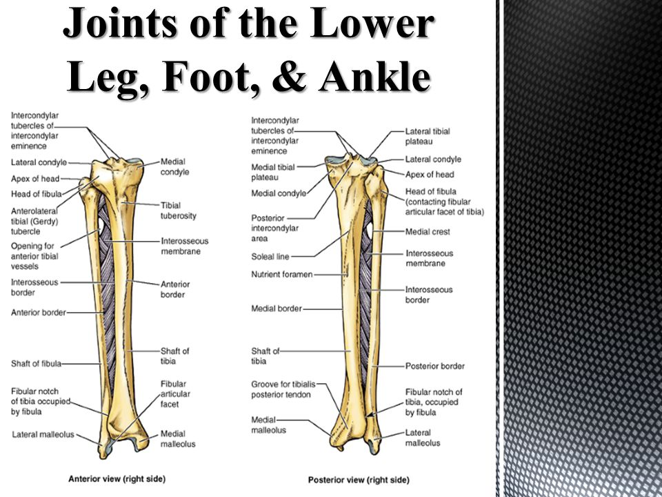 Joints of the Lower Leg, Foot, & Ankle