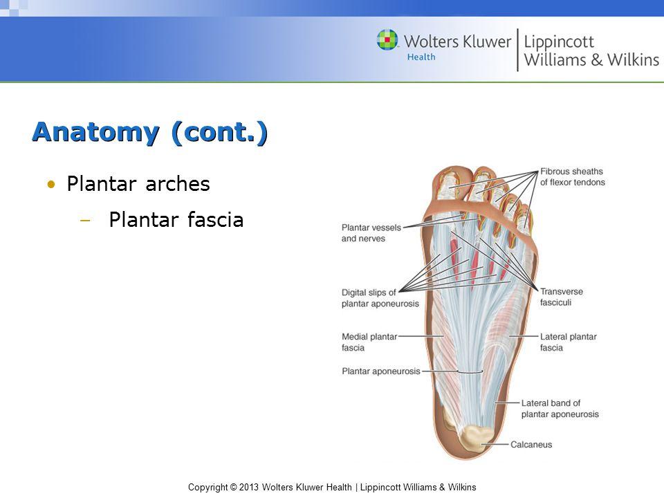 Anatomy (cont.) Plantar arches Plantar fascia