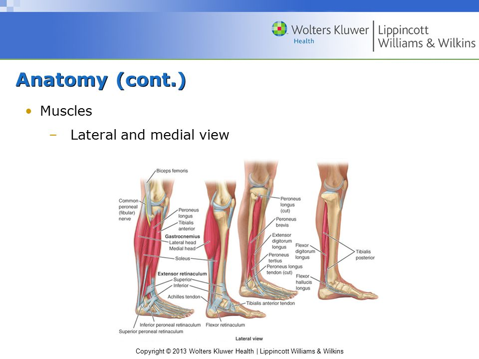 Anatomy (cont.) Muscles Lateral and medial view