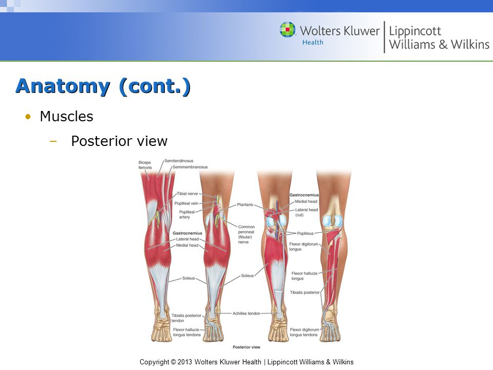 Anatomy (cont.) Muscles Posterior view