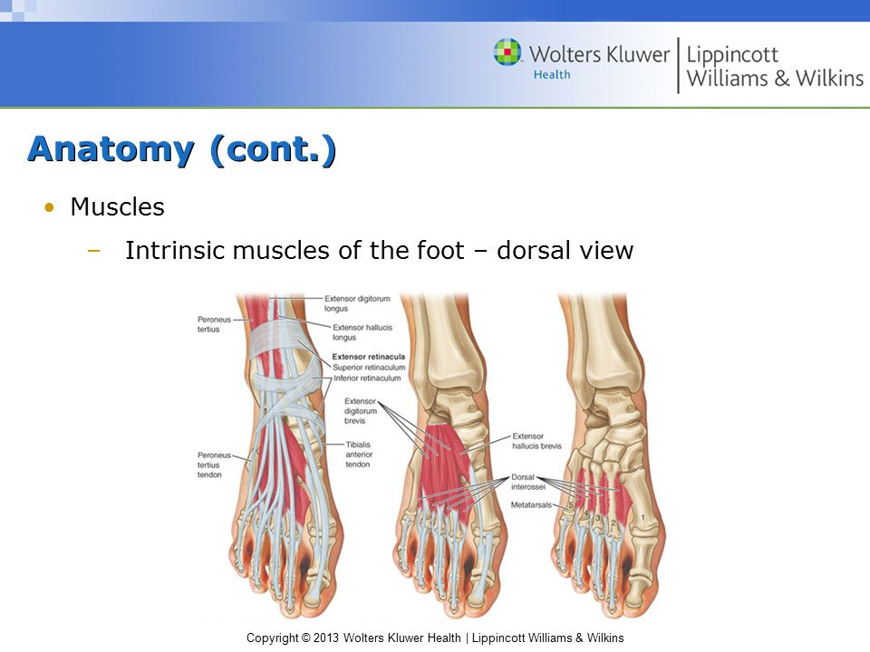 Anatomy (cont.) Muscles Intrinsic muscles of the foot – dorsal view