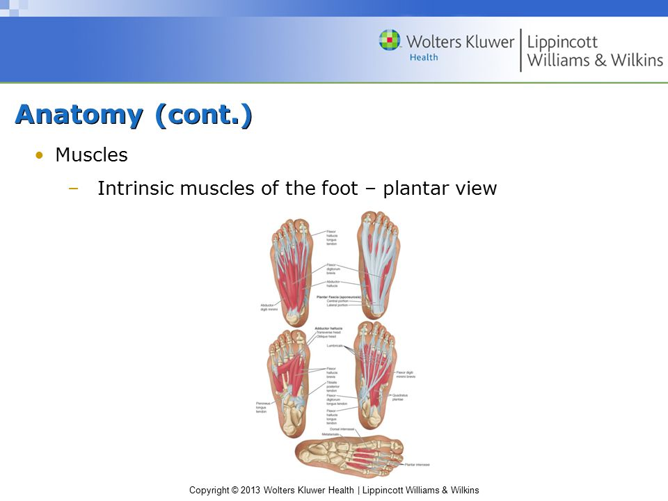 Anatomy (cont.) Muscles Intrinsic muscles of the foot – plantar view