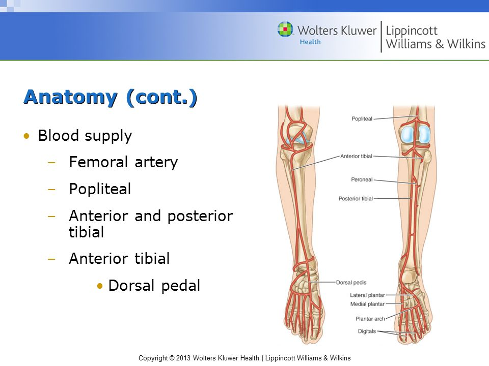 Anatomy (cont.) Blood supply Femoral artery Popliteal