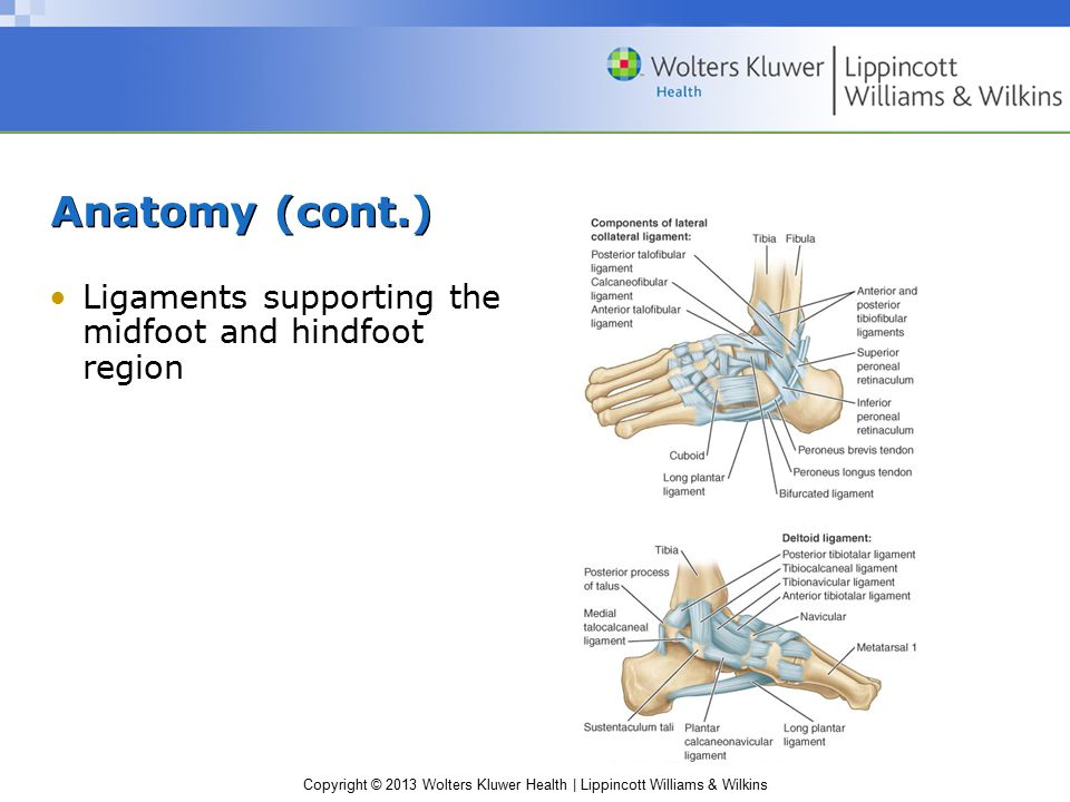 Anatomy (cont.) Ligaments supporting the midfoot and hindfoot region