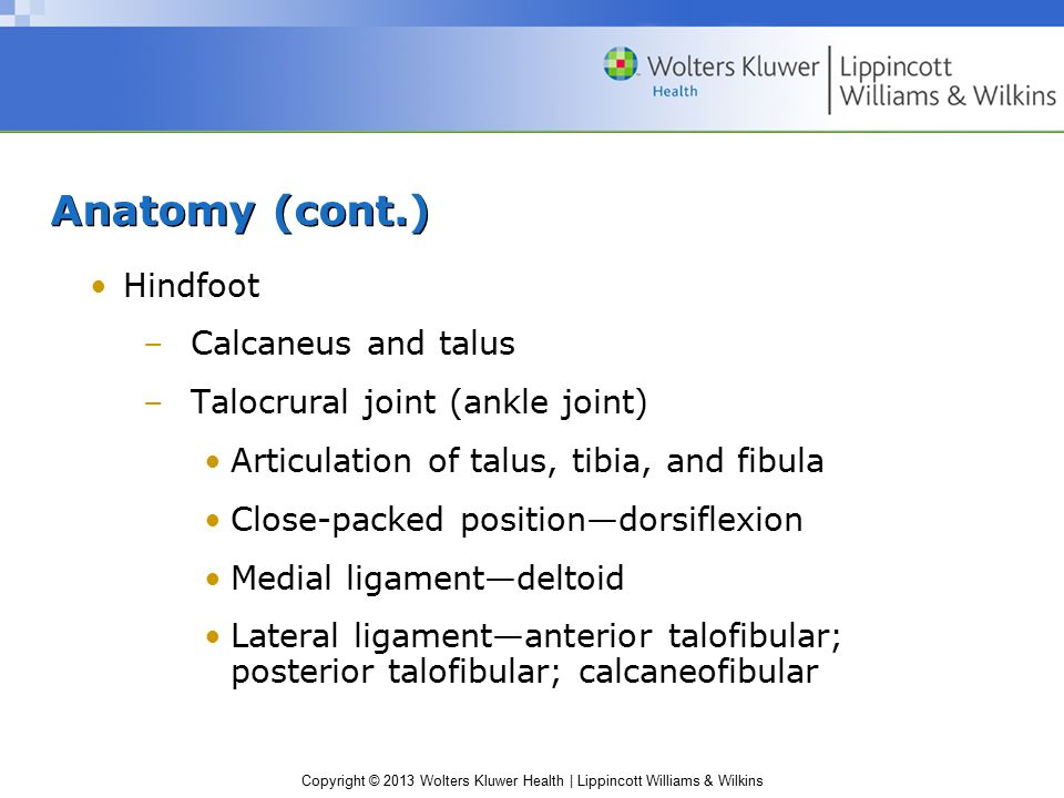 Anatomy (cont.) Hindfoot Calcaneus and talus