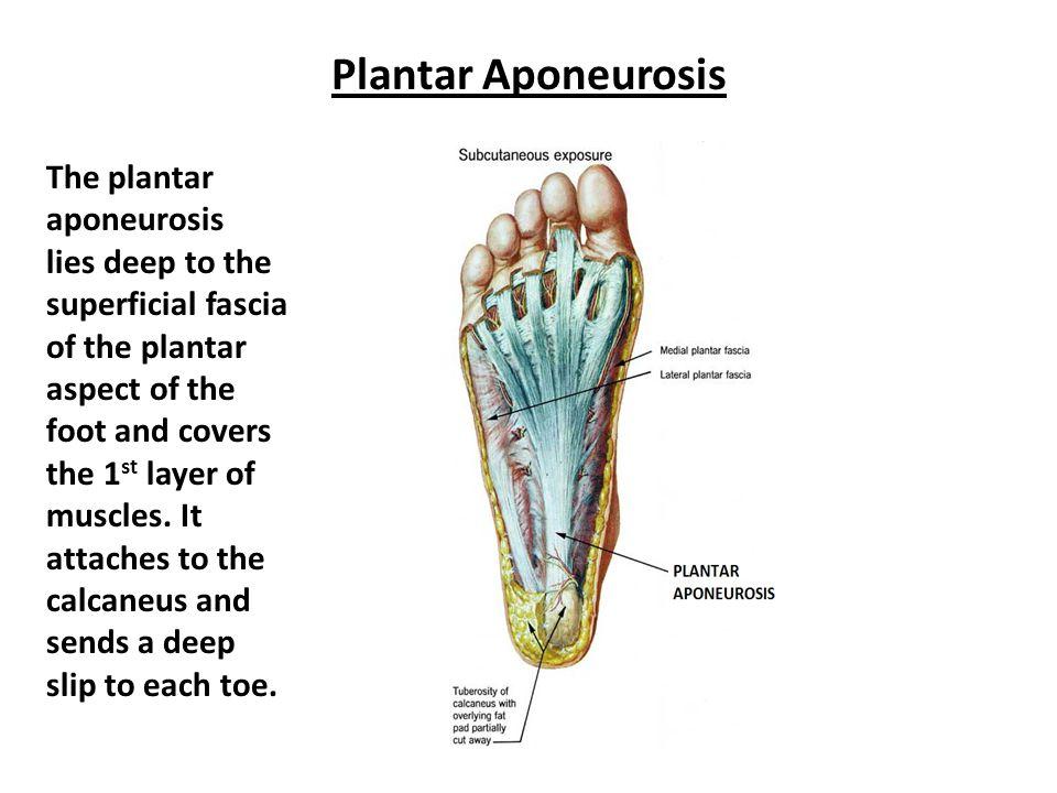 Plantar Aponeurosis The plantar aponeurosis
