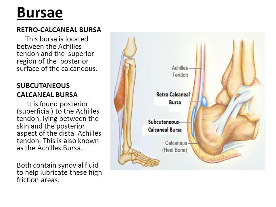Bursae RETRO-CALCANEAL BURSA