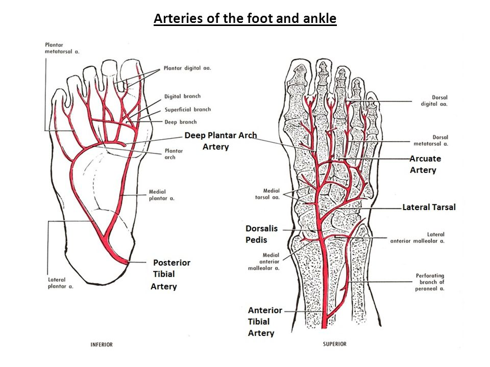 Arteries of the foot and ankle
