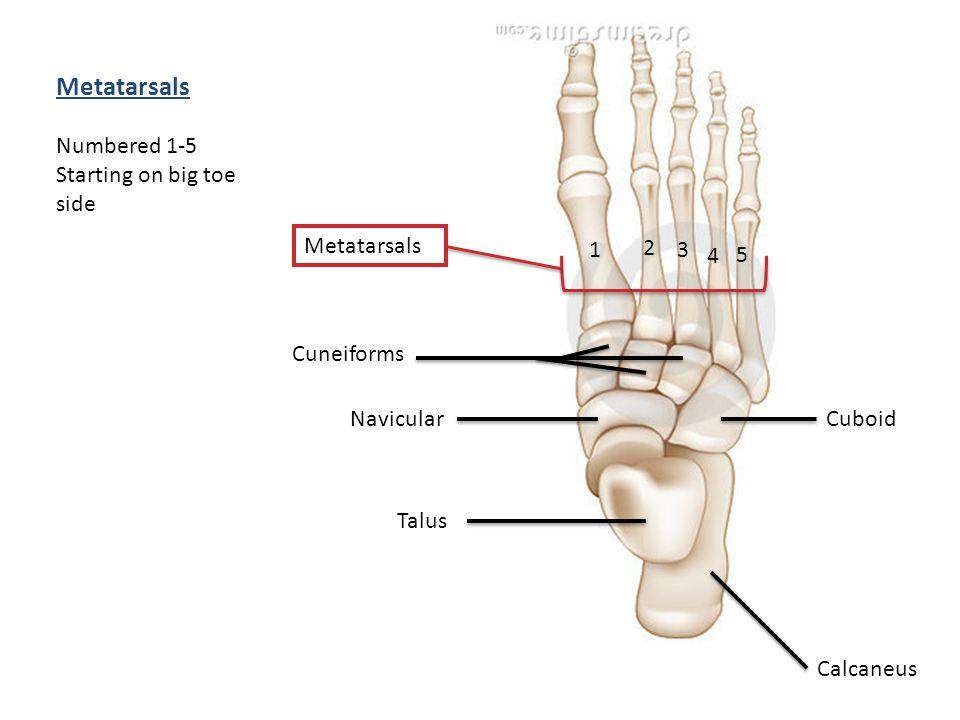 Metatarsals Calcaneus Talus Navicular Cuboid 1 3 2 Metatarsals 4 5