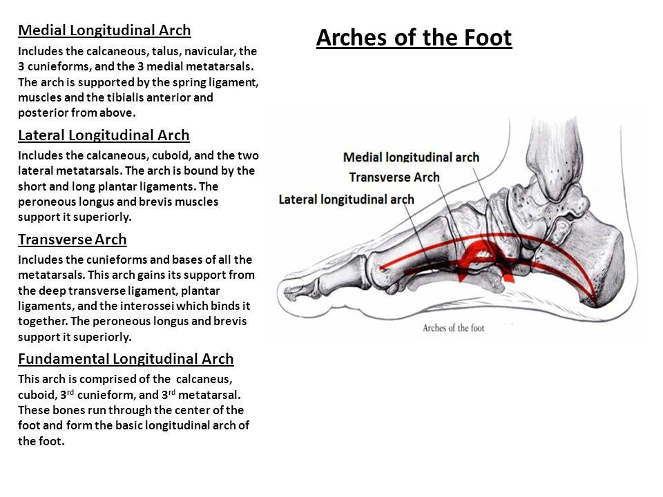 Arches of the Foot Medial Longitudinal Arch Lateral Longitudinal Arch