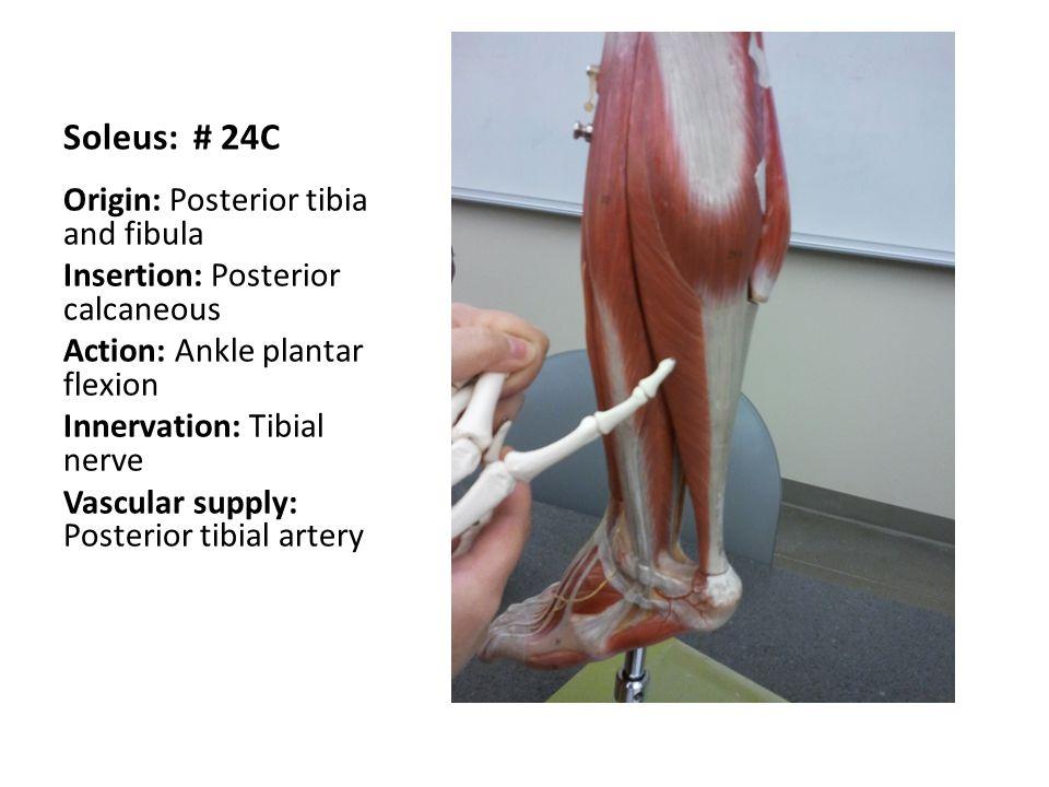 Soleus: # 24C Origin: Posterior tibia and fibula
