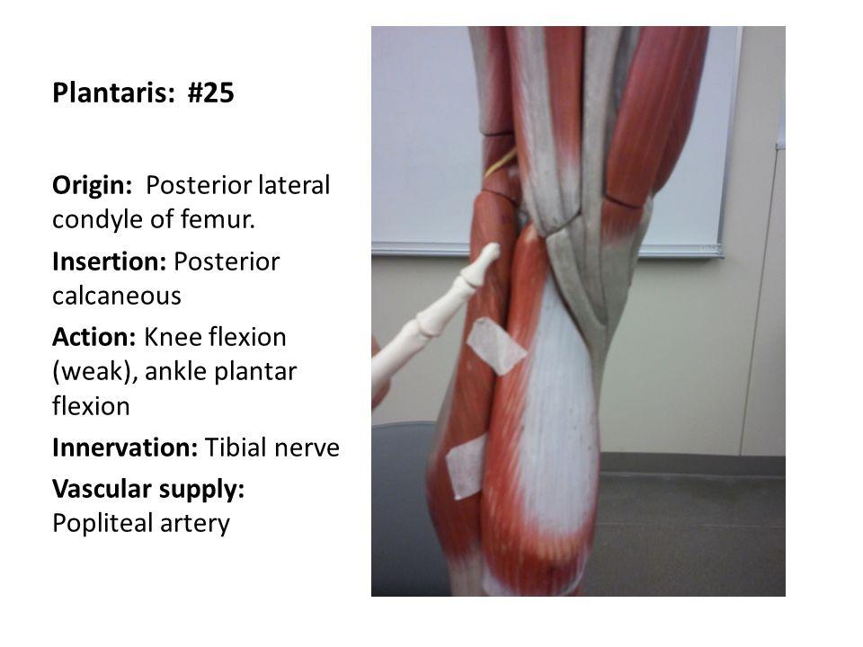 Plantaris: #25 Origin: Posterior lateral condyle of femur.