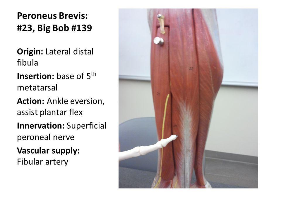 Fantastisch Peroneus Brevis Anatomy Bilder - Menschliche Anatomie ...