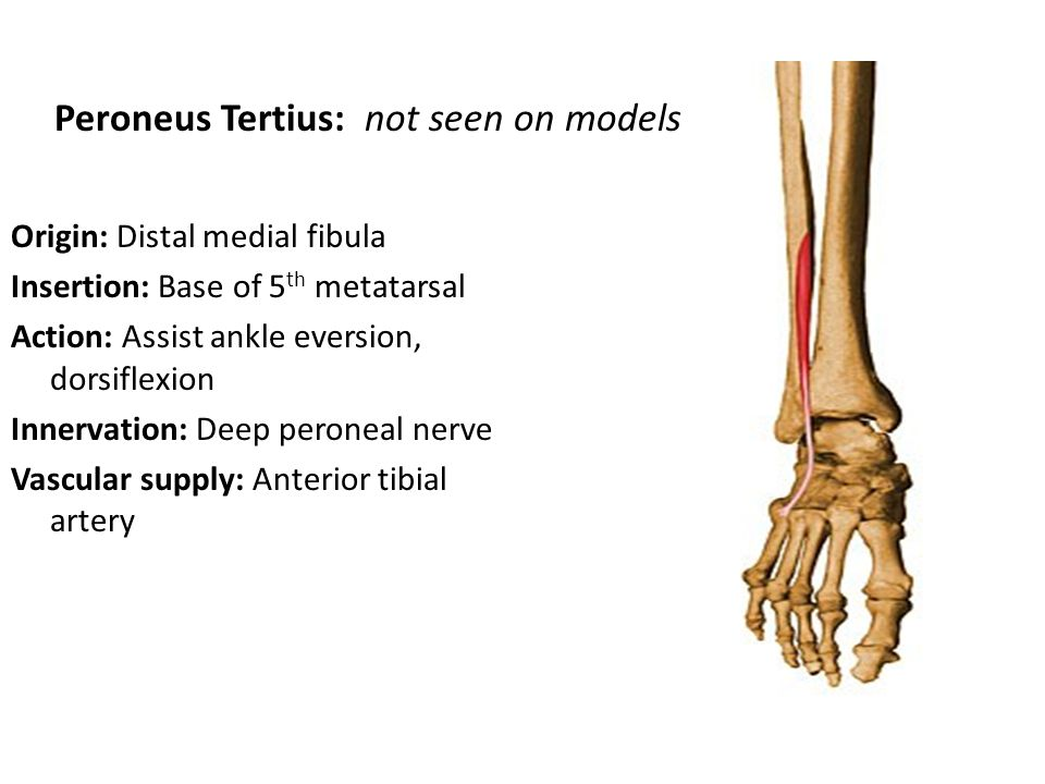 BONES OF THE FOOT & ANKLE. - ppt download