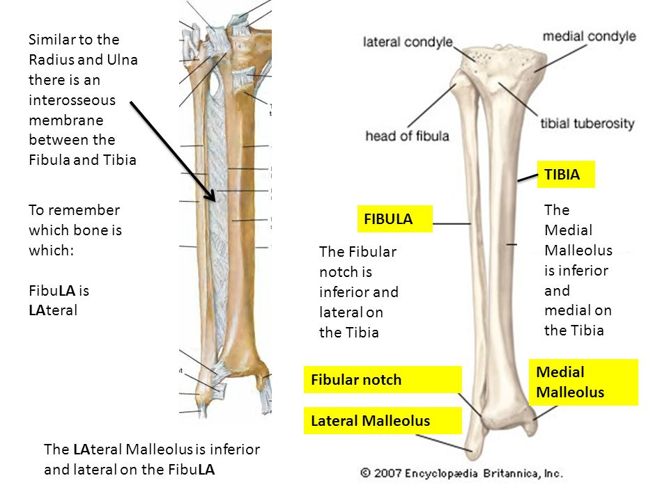 Similar to the Radius and Ulna there is an interosseous membrane between the Fibula and Tibia