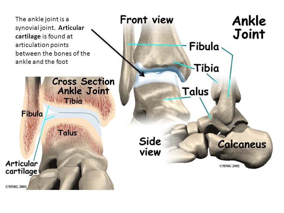 The ankle joint is a synovial joint