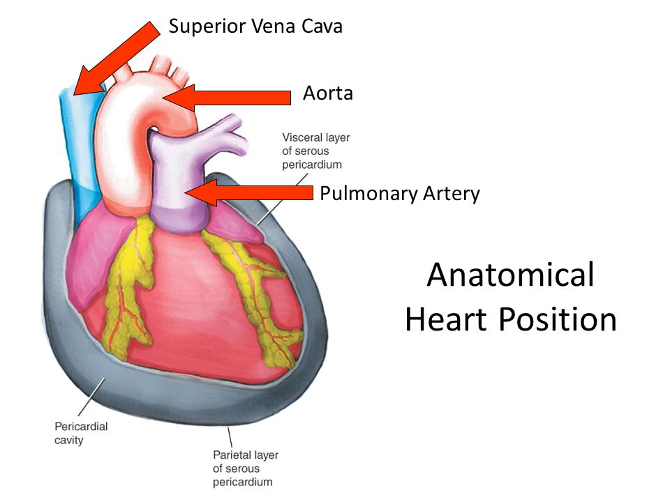 Anatomical Heart Position